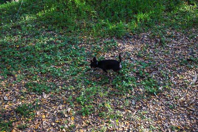 Penny Lane | Chihuahua Pet Photography | San Antonio, Texas | December 3, 2012 (2/6)