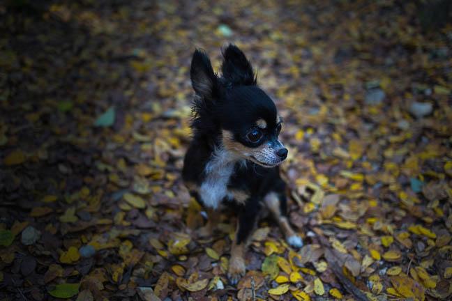 Penny Lane | Chihuahua Pet Photography | San Antonio, Texas | December 3, 2012 (1/6)