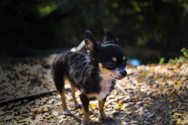 Penny Lane | Chihuahua Pet Photography | San Antonio, Texas | December 3, 2012 (6/6)